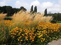 La fleur jaune d'or de Rudbeckia savent également en tant que Susan observée noire ou Coneflower en beau parc photos stock