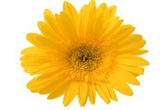 La fleur jaune d'isolement Photographie stock