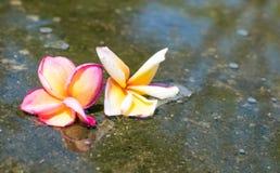 la fleur jaune de couples et blanche rouge de plumeria sont baisse dans le wate image libre de droits