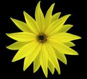 La fleur jaune de jardin, noircissent le fond d'isolement avec le chemin de coupure closeup Aucune ombres vue des étoiles, pour l Photographie stock