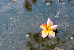 la fleur jaune et blanche rouge de plumeria est baisse dans l'eau avec p image libre de droits
