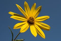 La fleur jaune fait le ciel bleu se tenir  Photos libres de droits