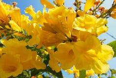 La fleur jaune fleurit le plan rapproché sur le frutex avec le ciel beautifuly bleu et la feuille verte photo stock