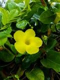 La fleur jaune naturellement, un jour pluvieux en hiver, là sont des gouttes de l'eau sur les feuilles Photos libres de droits