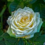 La fleur jaune pâle de la floraison s'est levée photos libres de droits