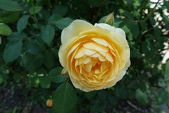 La fleur jaune pâle de s'est levée photographie stock