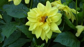La fleur jaune parmi le vert part avec l'abeille là-dessus banque de vidéos