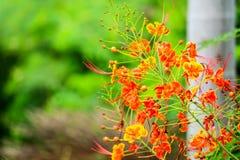 La fleur jaune peut être bouillie avec de l'eau, employé pour soulager le toothach photo stock