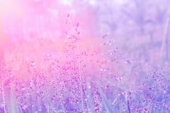 La fleur molle d'herbe de rose de foyer avec des baisses mouillent l'EFF de filtre de couleur en pastel Photographie stock libre de droits