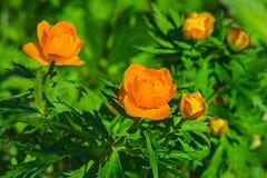 La fleur orange a appelé des renoncules Image libre de droits