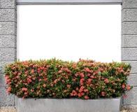 la fleur orange de transitoire est développée et le mur de ciment blanc Photo libre de droits