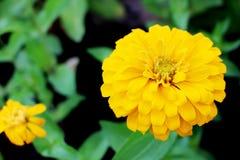 La fleur orange ou jaune de fleur d'Elegans de Zinnia sur le vert part dans le jardin Images libres de droits