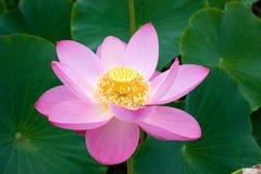 La fleur orientale Lotus s'ouvrira Images libres de droits