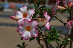 La fleur ou le désert d'azalée s'est levée image libre de droits