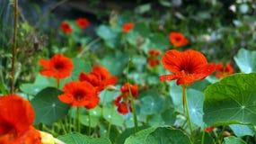La fleur ou le Tropaeolum de nasturce est le nom de cette belle fleur photographie stock
