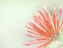 La fleur ou la transitoire d'Ixora fleurit la floraison dans le jardin photos stock