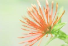 La fleur ou la transitoire d'Ixora fleurit la floraison dans le jardin images stock