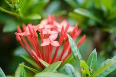 La fleur ou la transitoire de Lxora fleurit la floraison dans le jardin photographie stock