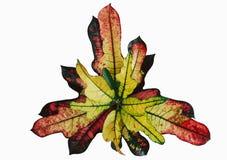 La fleur part du variegatum de Codiaeum Croton photo libre de droits