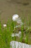 La fleur plumes Scheuchzer Photos libres de droits