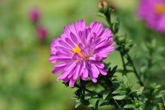 La fleur pourpre de chrysanthème s'est brillamment allumée par le soleil d'été photographie stock libre de droits