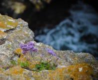 La fleur pourpre des falaises de Tyulenovo échouent la mer de la Bulgarie Photographie stock
