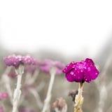 La fleur pourpre douce a couvert la rosée Photos stock