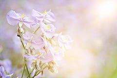 La fleur pourpre douce dans la fin de champ, len l'effet de fusée, foyer mou, tache floue photographie stock libre de droits