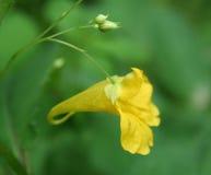La fleur ressemble à une cruche jaune Photographie stock