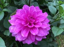 La fleur rose Photo stock