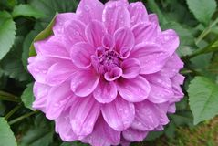 La fleur rose Image stock