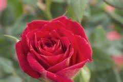 La fleur rose Photo libre de droits