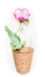 La fleur rose avec le vert part dans le pot, composition florale Photo libre de droits