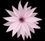 La fleur rose-clair de jardin, noircissent le fond d'isolement avec le chemin de coupure closeup Aucune ombres vue des étoiles, p Photos libres de droits
