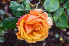 La fleur rose de belle orange spéciale a trouvé dans Ooty Photos stock