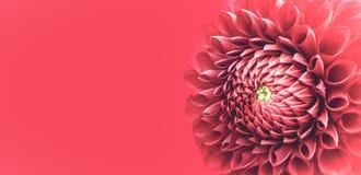 La fleur rose de dahlia détaille le macro cadre de frontière de photo avec le fond large de bannière pour le message Ton latéral  Image libre de droits