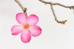 La fleur rose de la rose de désert sont belle Photo stock