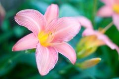 La fleur rose de lis Image libre de droits