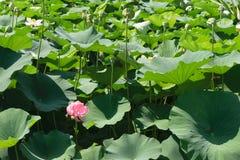 La fleur rose de nénuphar avec le vert part du fond image stock