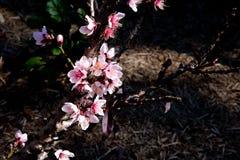 La fleur rose de nectarine fleurit - nectarine de prunus persica - sur t Photographie stock