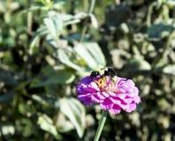 La fleur rose de pétale en soleil avec gaffent l'abeille rassemblant le necter photos libres de droits