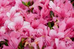 La fleur rose de rhododendron ou d'azalée fleurit au printemps le temps, Nago images stock