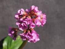 La fleur rose de saxifrage dans la fleur sur un plan rapproch? gris de fond photo stock