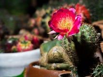 La fleur rose du cactus Photographie stock libre de droits