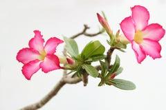 La fleur rose du désert s'est levée Images libres de droits