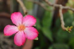La fleur rose du désert s'est levée Photo stock