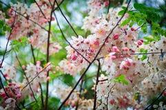 La fleur rose et blanche de Thaïlande Photos libres de droits