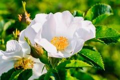 La fleur rose sauvage s'est levée Images libres de droits