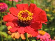 La fleur rougeâtre photo libre de droits