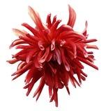 La fleur rouge de dahlia sur le blanc a isolé le fond avec le chemin de coupure aucune ombres closeup photos libres de droits